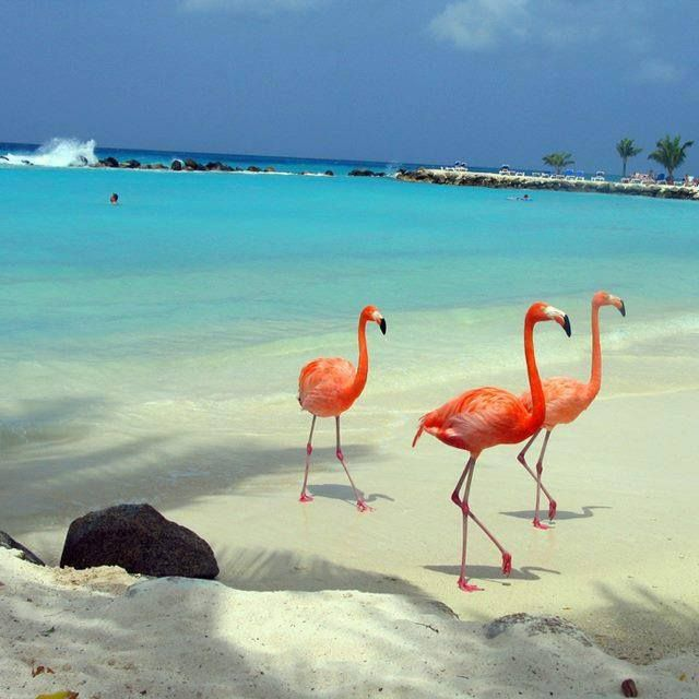 Pink Flamingos In Aruba