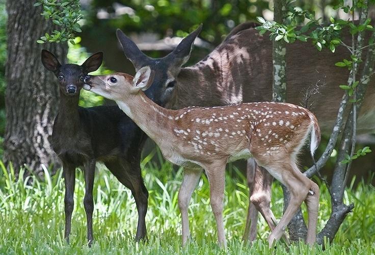 Melanistic Whitetail Deer Melanistic Whit...