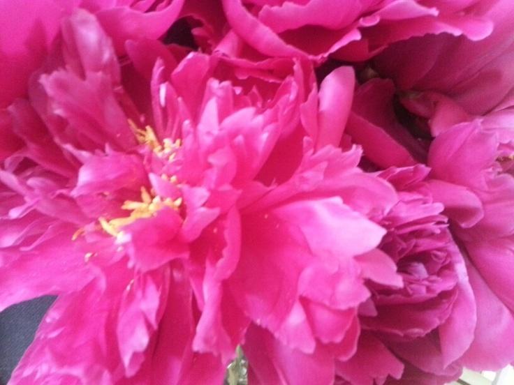 Gorgeous hot pink PeonyHot Pink Peony