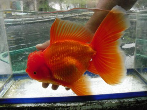 Large oranda goldfish creatures great and small pinterest for Big gold fish