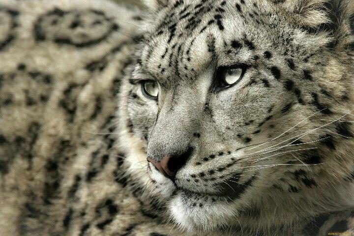 Snow leopard animals pinterest