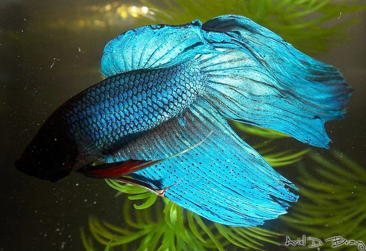 Beta fish beta fish pinterest for What is a beta fish