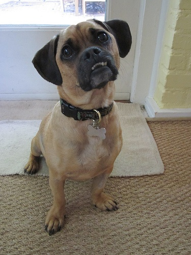 Oliver, our pug dachshund mix. | Just So Cute It Had to Be Pinned | P ...