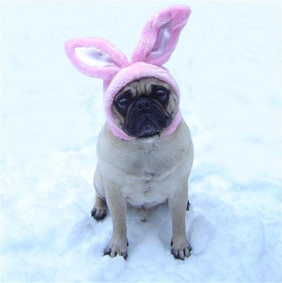 funny pug dog easter bunny pug holiday costumes pinterest