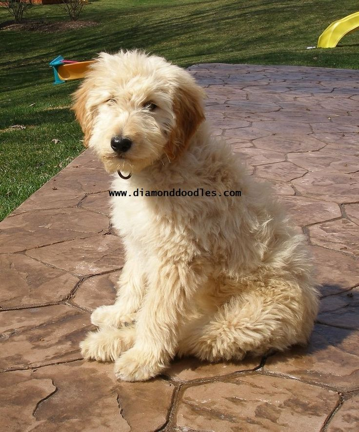 softcoated wheaten terrier poodle mix