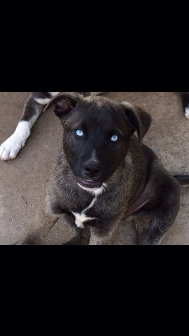 bull husky mix wow those eyes picture click for details husky pit mix ...