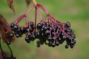 Elderberry Syrup to prevent flu