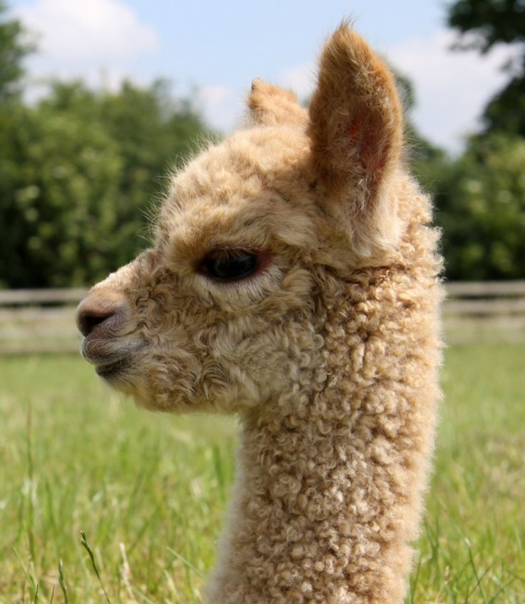 Baby Alpaca   Fowberry...