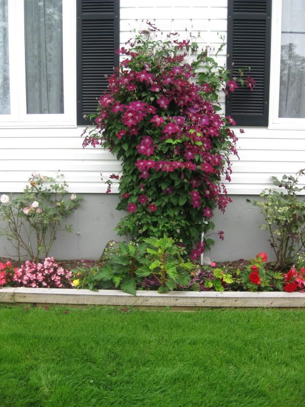 rouge cardinal clematis in my garden pinterest. Black Bedroom Furniture Sets. Home Design Ideas