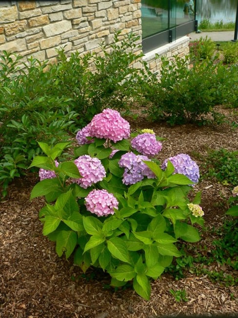 endless summer hydrangea lovely landscape pinterest. Black Bedroom Furniture Sets. Home Design Ideas
