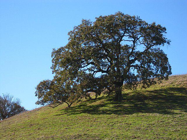 how to kill an oak tree
