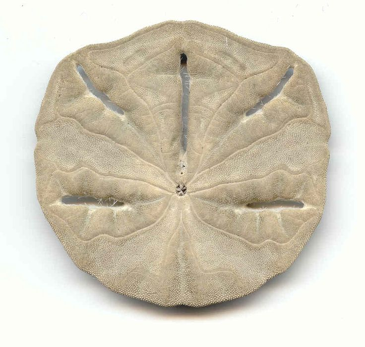 Amazing story about the sand dollar legend