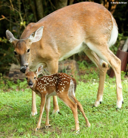 baby whitetail fawn in - photo #37