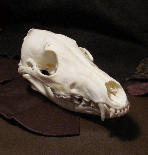 Coyote skull anatomy - photo#5