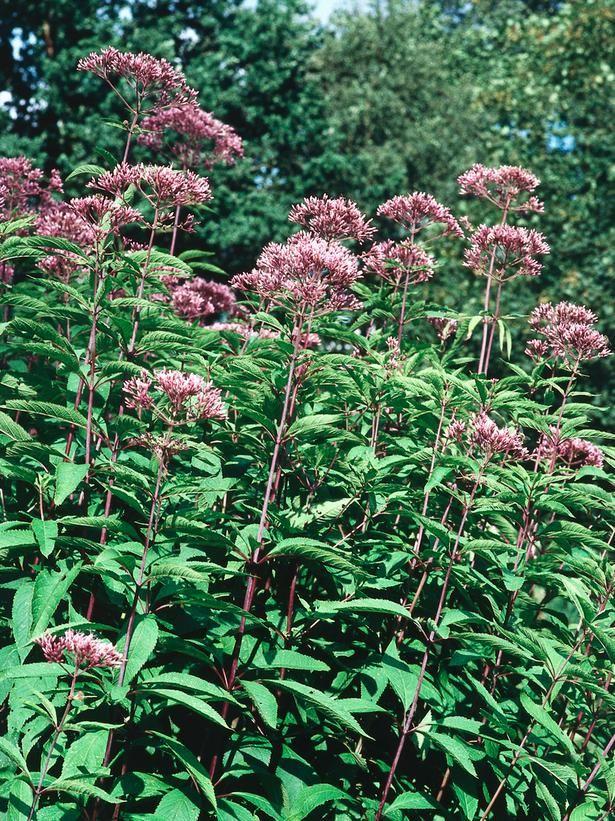 11 Striking Bog Plants on HGTV Sweetscented Joe Pye Weed - Ideal ...