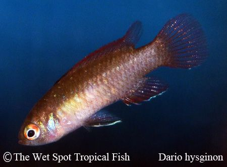 Dario hysignon flame red badis wild freshwater fish for The wet spot tropical fish