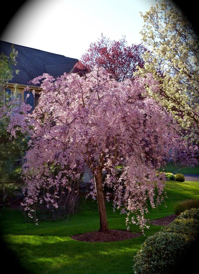 Weeping flowering cherry tree garden pinterest for Weeping garden trees
