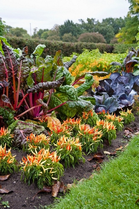 #Edible Landscaping - swiss chard, red cabbage and ornamental pepper create a colorful border