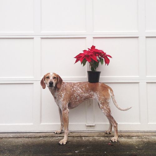 A friendly holiday PSA from Maddie: each year dogs still get sick from eating Poinsettia's. Maddie recommends keeping them away from dogs, or just balancing them on your back.