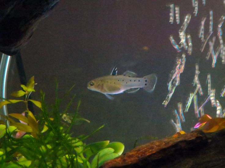 female knight goby #trustefish Aquarium Obsessed Pinterest