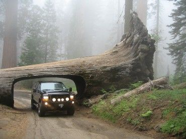 One of the biggest trees - the redwood