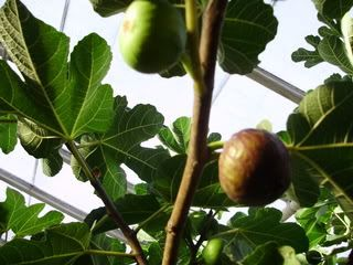 fig-tastic - I love this site: www.figtrees.net/