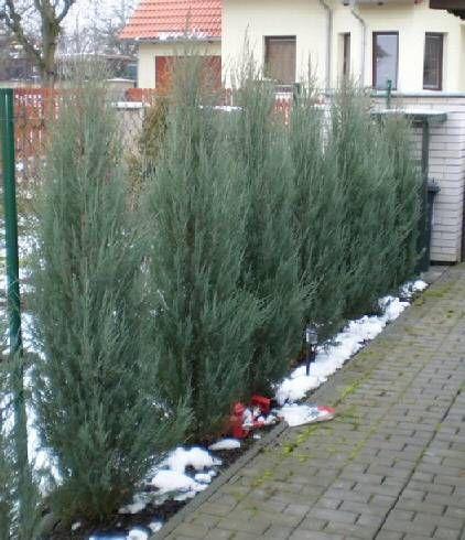 Skyrocket Juniper Lining The Front Fence Garden Pinterest