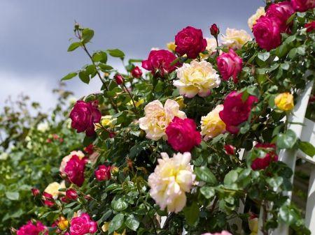 Beautiful Garden Of Roses Flowers Wallpaper ID 1306933 Desktop