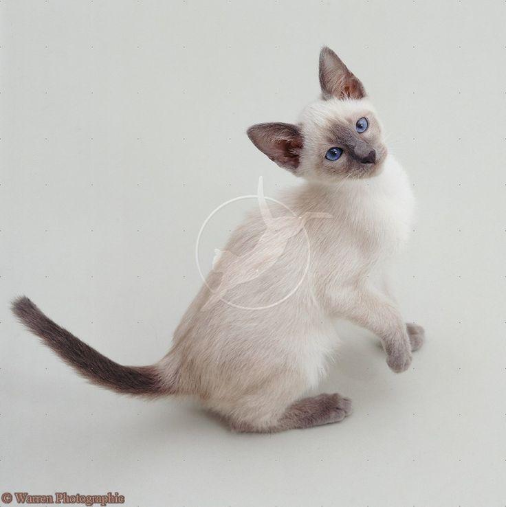 Blue point Siamese kitten | Cats | Pinterest
