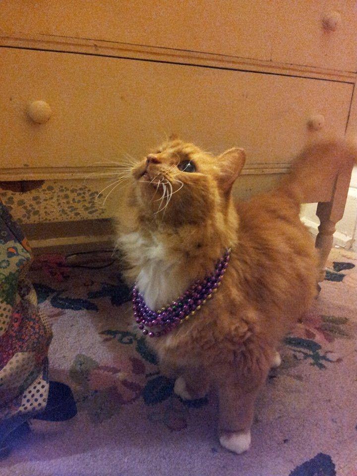 Meet Satchmo. The Mardi Gras kitty.