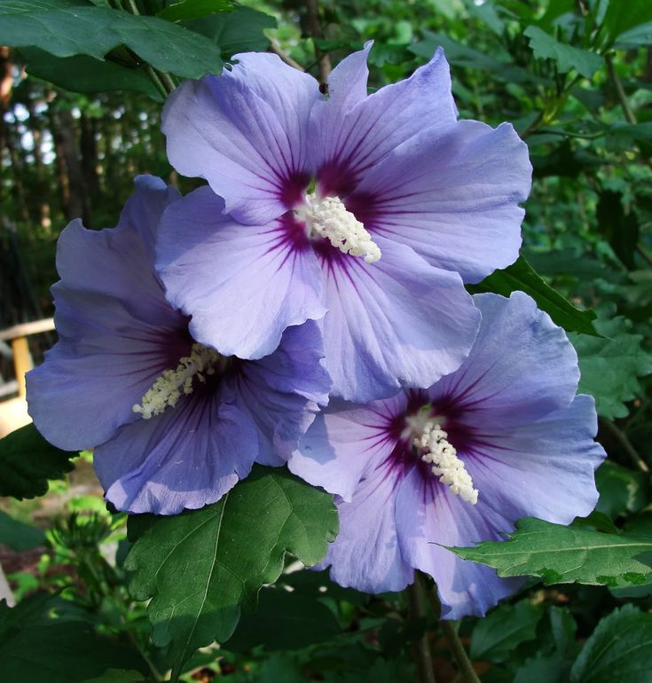 rose of sharon are - photo #22