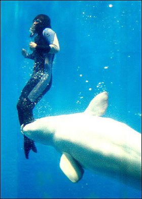 Beluga whale saves a diver from drowning