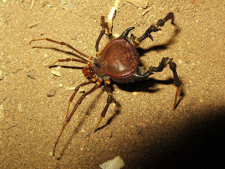 Pachyloidellus goliath  …a species of tropical harvestman that is native to Argentina in South America.