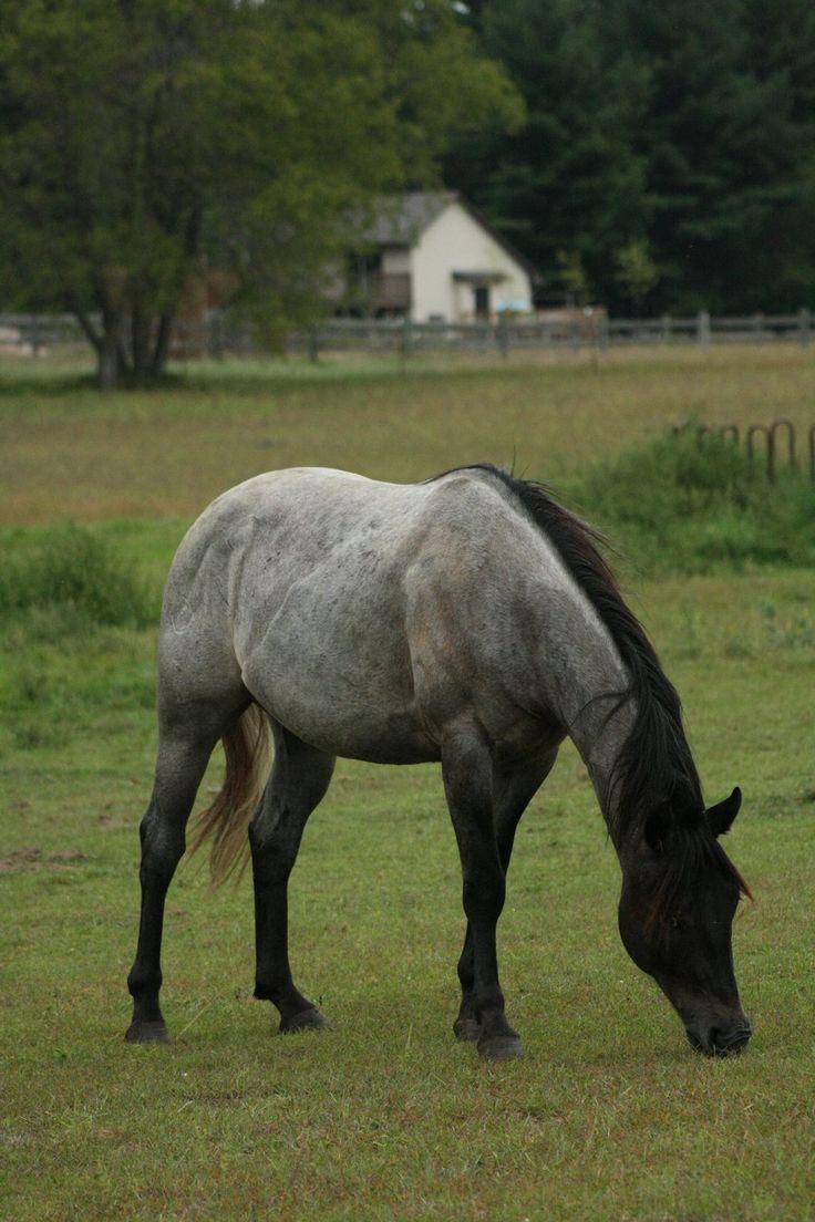 Black roan horse