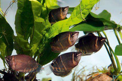 The Chocolate gourami, Sphaerichthys osphromenoides