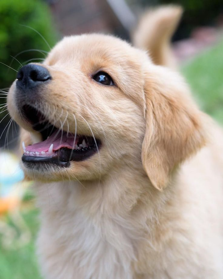Golden retriever dog puppy