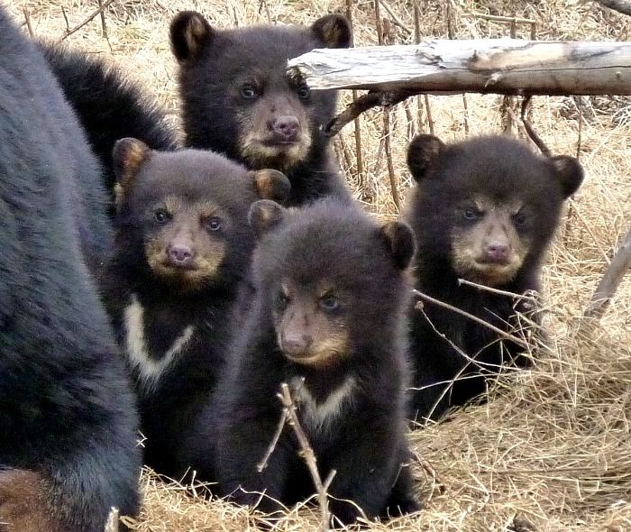 Baby Bear Cubs Zoo Sauvage Up Close 1 | Bears | Pinterest