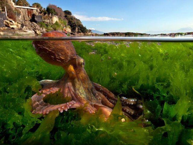 underwater octopusUnderwater Octopus