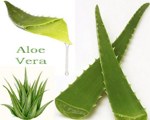 Pin by kathy thimling on helpful hints garden pinterest - Aloe vera plant care tips beginners guide ...