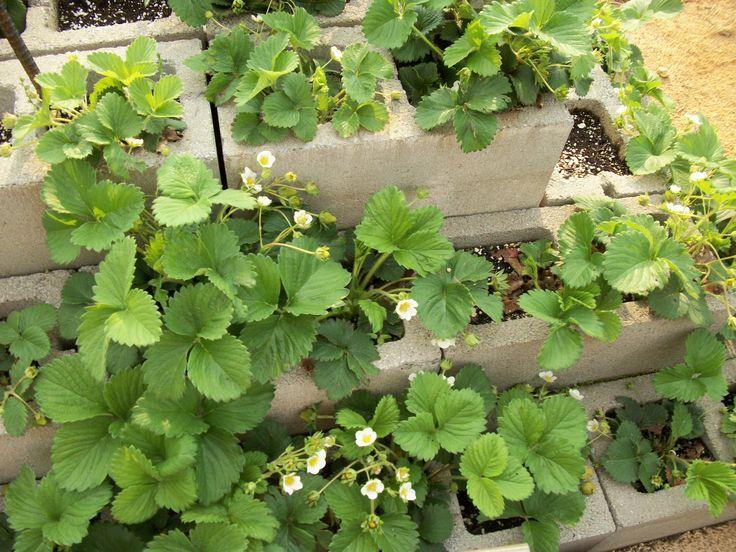 Strawberries In Cinder Blocks Garden Ideas Pinterest