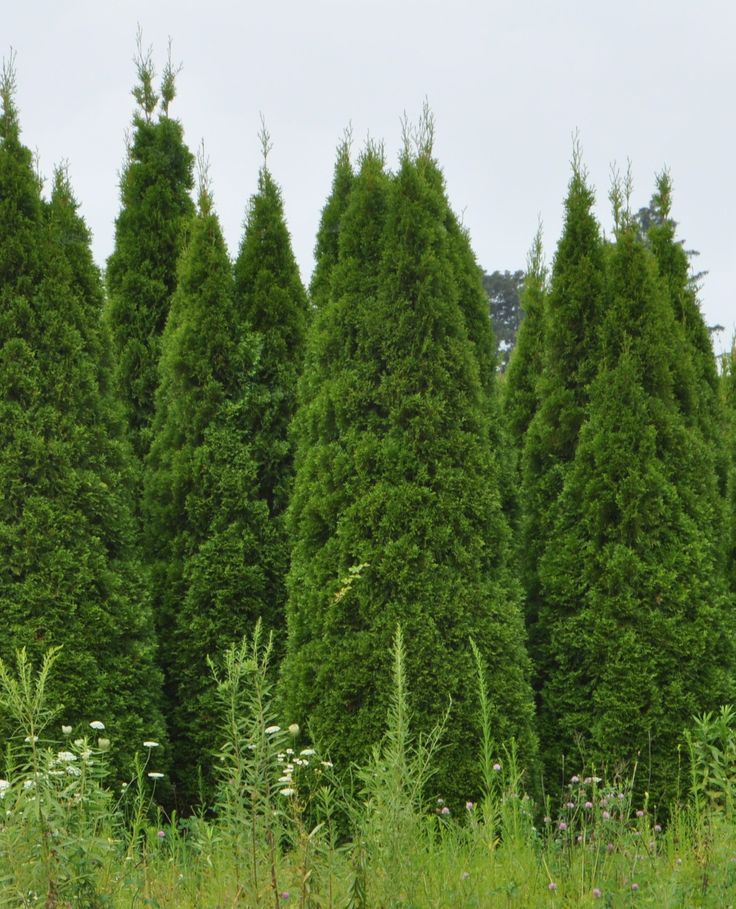 Thuja green giant rboles y plantas pinterest for Green giant arborvitae