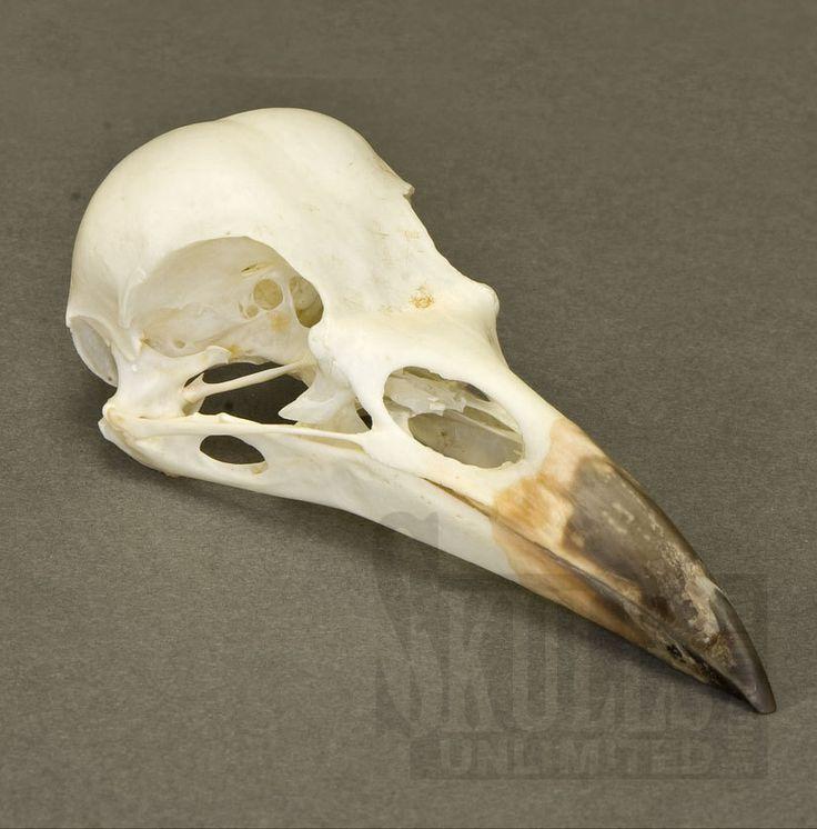 Raven Skull Anatomy
