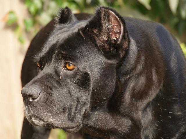 Cane corso | Cane Corso Italian Mastiff