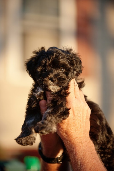 Our MaltiPoo, Tux, at 7 weeks.   He is 9 weeks now... :-)   (Picture taken by my daughter at lifelightimage@gmail.com)