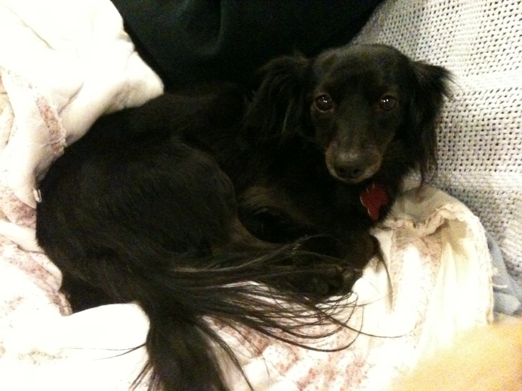 Foster dog #18, Jessica, a 5 yr old long haired Chiweenie.