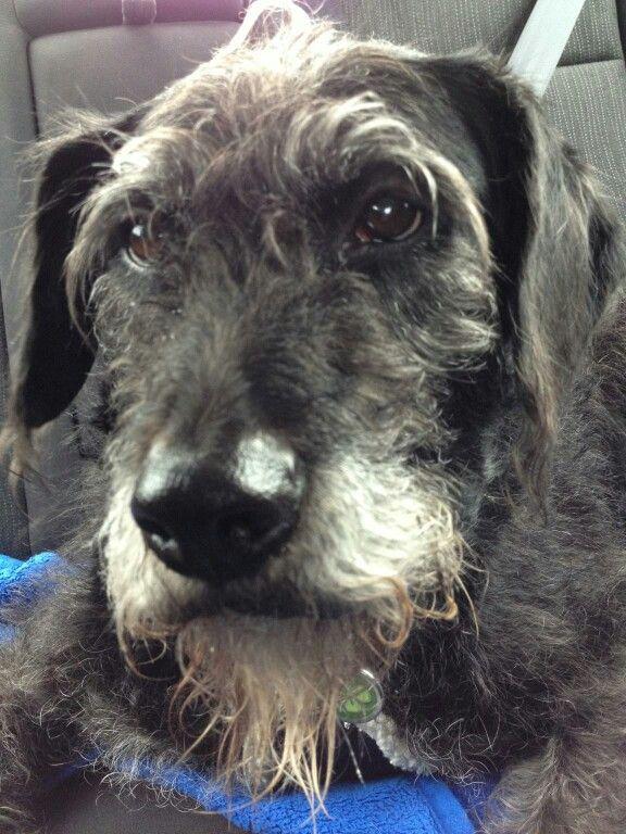 Irish Wolfhound mix??? Looks so much like my sweetest dog. Brownie..