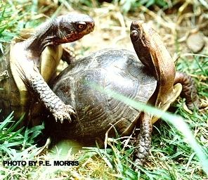Caring for hatchling box turtles Homeschooling Pinterest