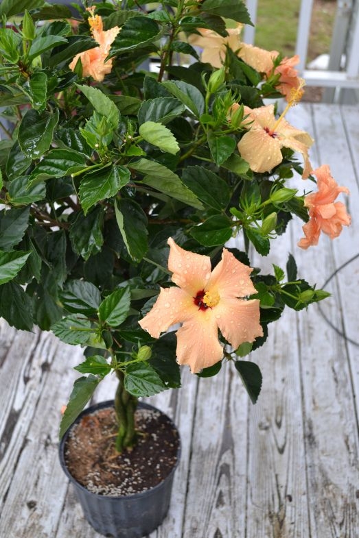 braided hibiscus tree - photo #3