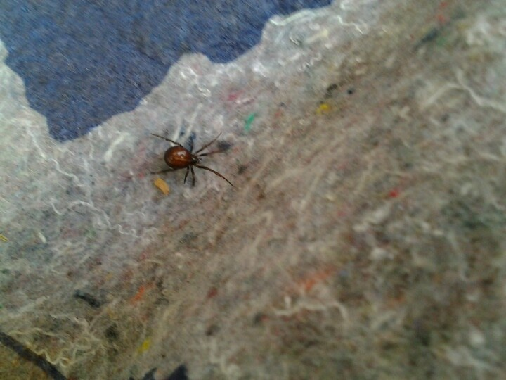 Brown recluse spider bite on dog