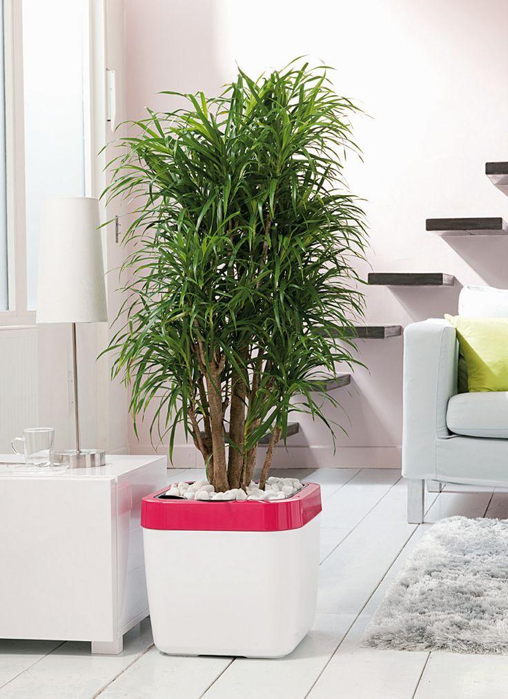 Dracaena anita dracaena pinterest for Asperge plante interieur